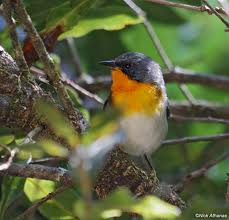 Photo Credit: antpitta.com from Google Images